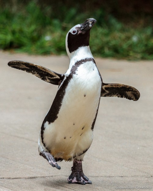 African penguin (Photo: Cassandre Crawford)