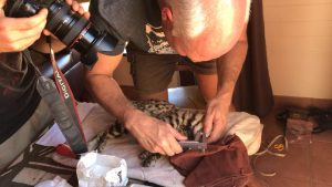 Dr. Sliwa takes measurements on a black-footed cat (Photo: Beryl Wilson)