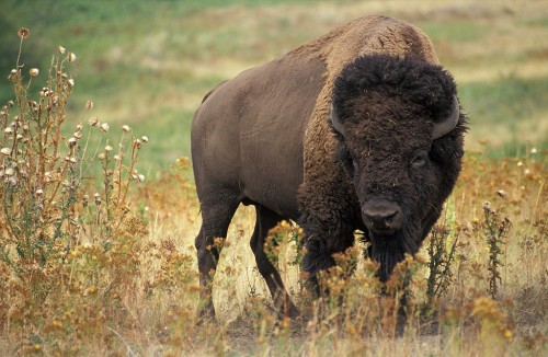 American bison (Photo: Jack Dykinga)