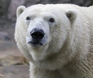 Meet Anana, the Zoo's new female polar bear (Photo: DJJAM)