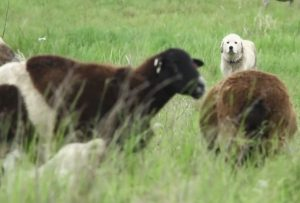 Anatolian shepherd watching over flock (Photo TERRA)