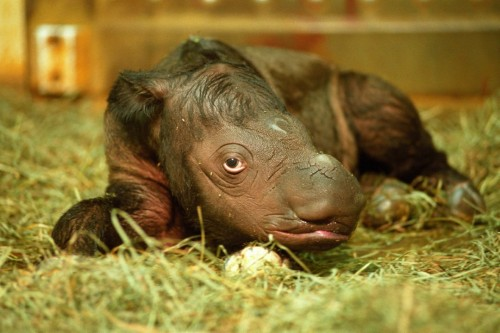 Andalas, just one day old (Photo: David Jenike)