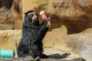 Chester, an Andean bear, manipulates a puzzle feeder