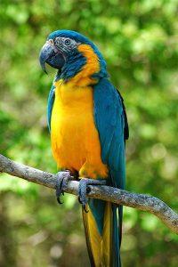 Blue-throated macaw (Photo: Jeff Kubina)