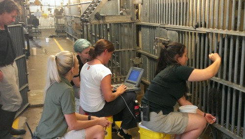 Primate Department keepers, Stephanie Sauer, Benny Smith and Grace Meloy watch on as keeper/ trainer Ashley Ashcraft places an ultrasound wand to Asha's abdomen while reinforcing her with grapes.  Reproductive Physiologist, Dr. Erin Curry, monitors the images.