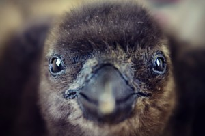 African penguin chick (Photo: SANCOBB)