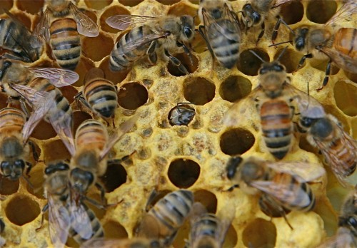Honeybees (Photo: JP Goguen)