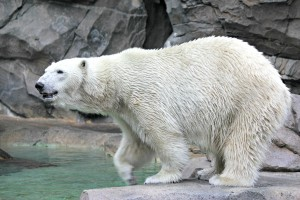 Berit, the female polar bear (Photo: Crissi Lanier)