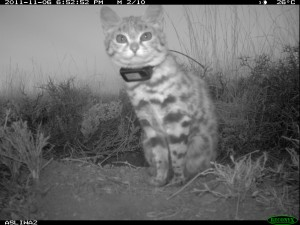 A camera trap image of a collared black-footed cat.