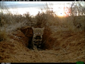 A black-footed cat emerges from its den.