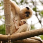 Buff Cheeked Gibbon