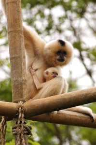 A baby buff-cheeked gibbon clings to new mother Maxine.