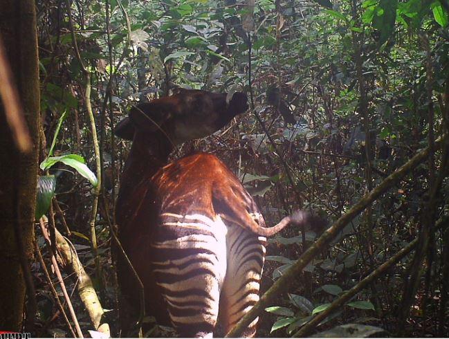 Okapi Cam: Meet Our Okapi Calf Moyo – Articleblog info