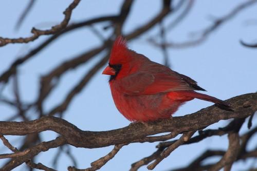 Cardinal (Photo: Dave Jenike)