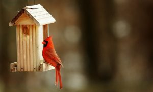 Cardinal on hopper feeder (Photo: MaxPixel)