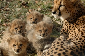 One of the many litters of cheetah cubs born at the Zoo's Breeding Facility (Photo: Dave Jenike)