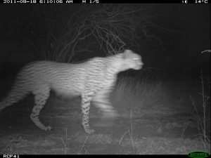 Cheetah at a camera trap in Tanzania (Photo: Ruaha Carnivore Project)