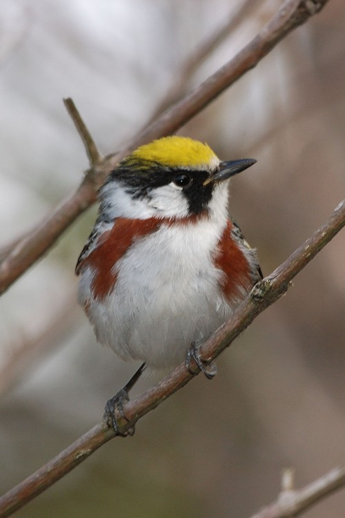Chestnut sided warbler (Photo: Dave Jenike)
