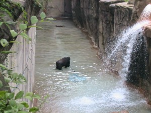 Chewie in the moat at Cincinnati Zoo