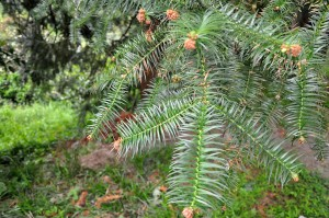 China fir (Photo: Lazaregagnidze)