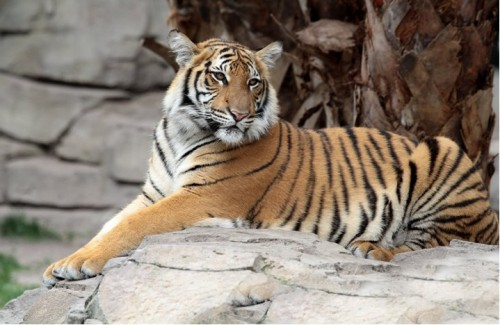 Cinta (Photo: Busch Gardens)