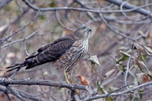 Every rodent, bird, or reptile killed by a cat is one less meal for native predators like this Cooper's hawk.(Photo: Gary Eslinger/USFWS)