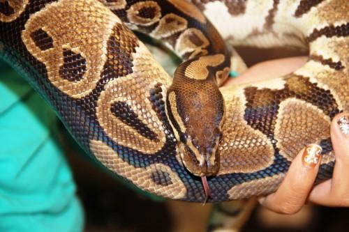 Crystal, the ball python