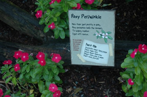 Discovery Forest rosy periwinkle