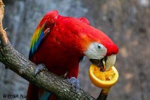 That's one way to eat an orange! (Photo: DJJAM)