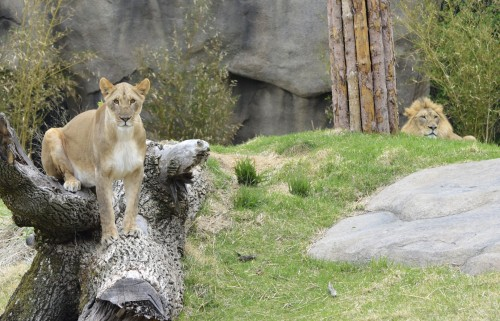 Imani the African lion enjoying the outdoors