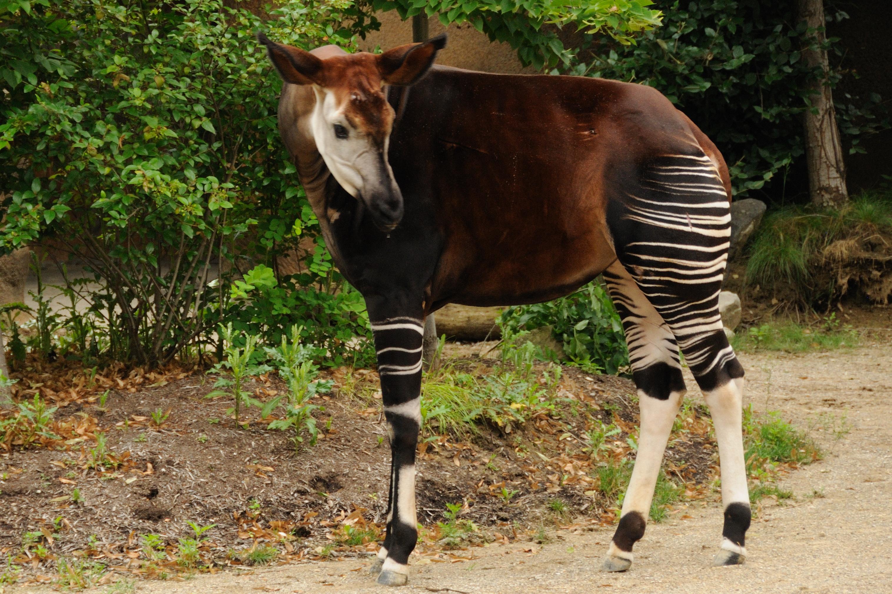 Okapi (Photo: Dave Jenike)