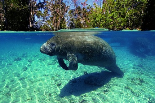 Florida manatee, Crystal River, Florida, USA