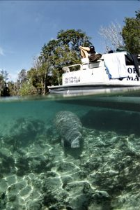Florida manatee in Crystal River National Wildlife Refuge (Photo: David Hinkel)