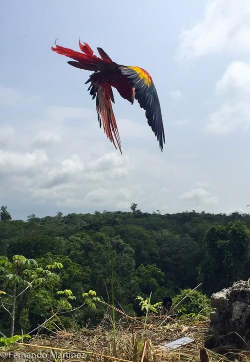Flying free! (Photo: Fernando Martinez, ARCAS)