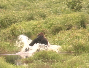 Gorilla splashing