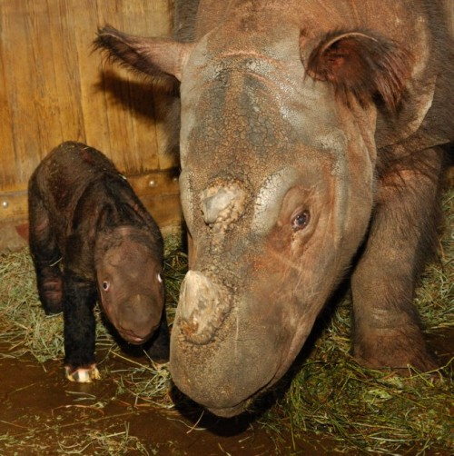 Newborn Harapan sticks close to his mom's side.