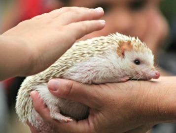 East African Pygmy Hedgehog-Photo:Crissi Lanier