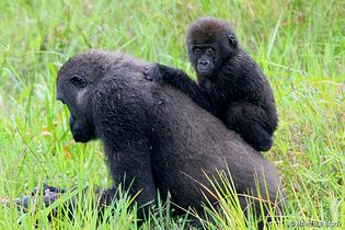 Meet Hercules and his mother, Henna, two of the many gorillas that frequent Mbeli Bai (Photo: Mbeli Bai Study)