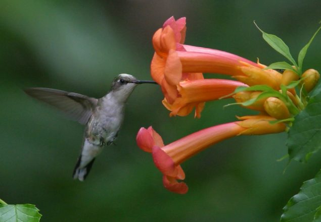 Ruby-throated hummingbird (Photo: Brian Jorg)