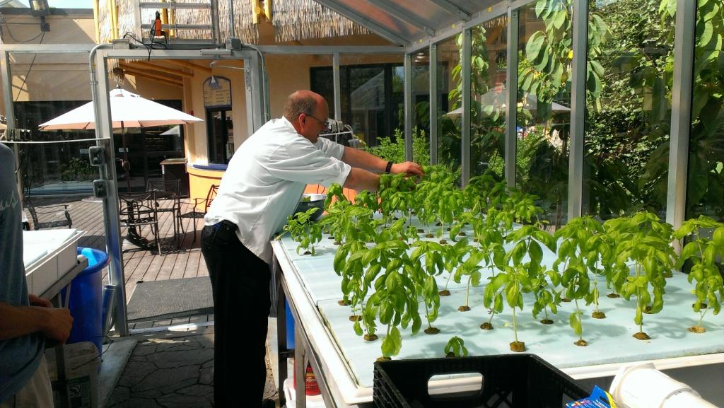 Chef Brian harvesting basil for the Base Camp Cafe.