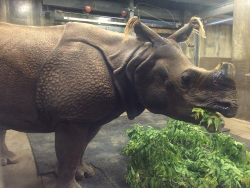 Indian rhino Manjula chomps on her dinner.