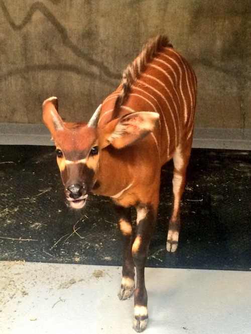 Bedtime for baby bongo calf Stevie!