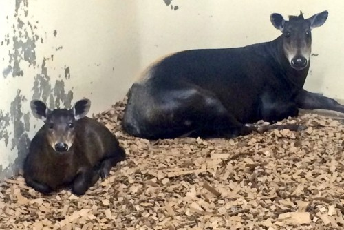 Yellow-backed duiker and her calf.