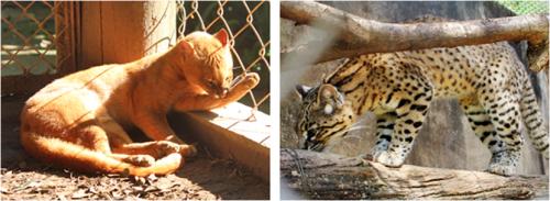 Jaguarundi & Geoffroy's cat