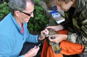 Kea Conservation Trust staff conducting kea research (Photo: Nigel Adams)