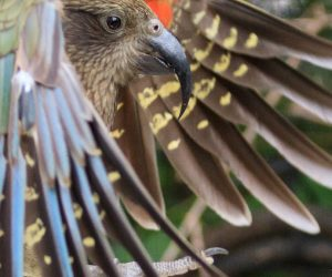 Kea (Photo: Cassandre Crawford)