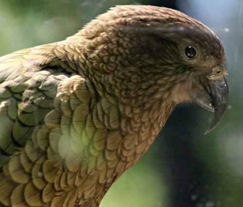 Female kea