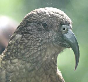 Male kea