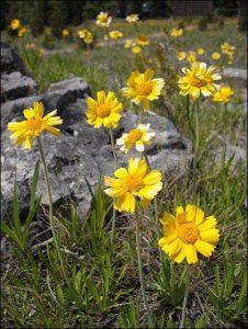 Lakeside daisy (Photo: USFWS)
