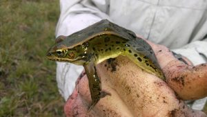 Leopard frog (Photo: Brian Jorg)